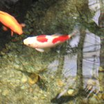 Koi ponds in many areas