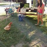 Escaped chicken from the farm next door looking for food.