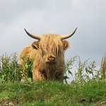 lovely highland cow