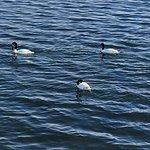 Cisne De Cuello Negro Foto
