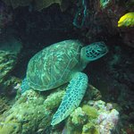 Bunaken is a turtle paradise. You can find them on every dive.