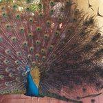 Peacock at outside restaurant seating