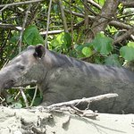 This tapir was having lunch down by the beach!