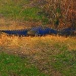 Alligator on the trail
