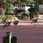 wild turkeys who walk through every morning