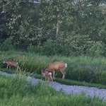 Doe with two fawns - seen from our deck