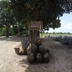 Foto de Mayapan Traditional Agave Distillery