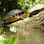 Waterschildpadden Wekiwa