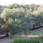 Olive grove from room 11 balcony