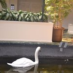 Live Swans in the lobby