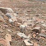 Baby mountain goats!