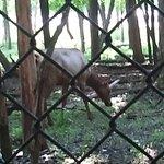 Busse Woods Elk