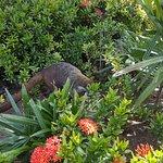 Coatis roam around the hotel, they are cute.