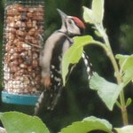 A woodpecker having his breakfast in the garden at Pendine Sands B&B.