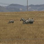 Zebras along the coast drive by Hearst castle