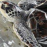 Induruwa Sea Turtle Conservation Project & Sea Turtle Information Center