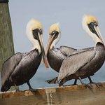 Pelicans in Portland