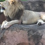 """The """"King"""" of the Harambe Wildlife Reserve"""