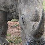 Curious rhino still with horn :-)