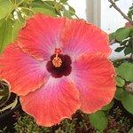 hibiscus--large