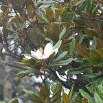 big Ficus tree flower
