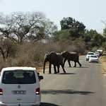 Kruger - vehicles stopped for elephants crossing
