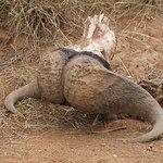 Skeleton of a dead buffalo