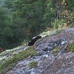 Black Bear near the summit of Sunset Rock