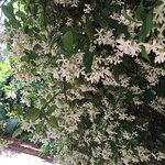 Jasmine in bloom as you enter the rear courtyard