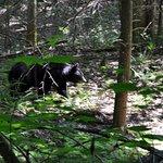 Bear on Baskins Creek Trail
