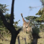 Giraffes walking by the camp ground