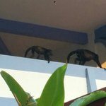 Howler monkeys on balcony