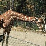 Girafa comiendo