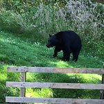 Bear Who Came By The Lodge