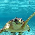 Turtle waiting for conch from the fishermen.