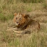 Lion in Nairobi National Park