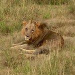 Lion in Nairobi National Park