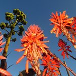 Amazing aloe in bloom with agave plume