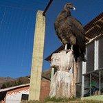 Condor hembra en el área de aves donde se puede ver su comportamiento.