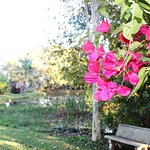 Bougainvillea near our small dam in the garden