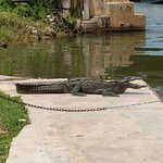 Crocodile who jumped on the shore before our cruise.