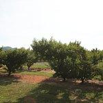 Chiles Peach Orchard Foto