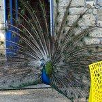 The resident peacock (better than an alarm clock)