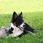 """""""Saba"""" splendido cane dei proprietari"""