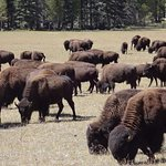 We passed a herd of buffalo grazing by the road driving to the North Rim Lodge.