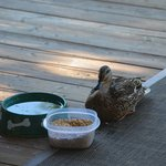 dolores the duck coming for her evening snack