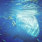 Trip to Oslob. Whaleshark snorkeling is a must thing to do!