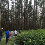 Walk in the tea and pine plantations