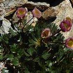 Ranunculus glacialis - der Gletscher-Hahnenfuß