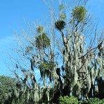 beautiful spanish moss and mistletoe